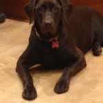 Our Chocolate Lab, Scout